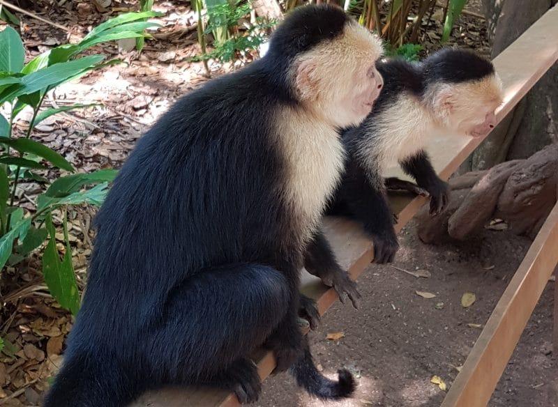 Affen im Mayan Eden Eco Park