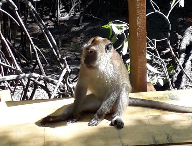 Viele Affen auf Langkawi